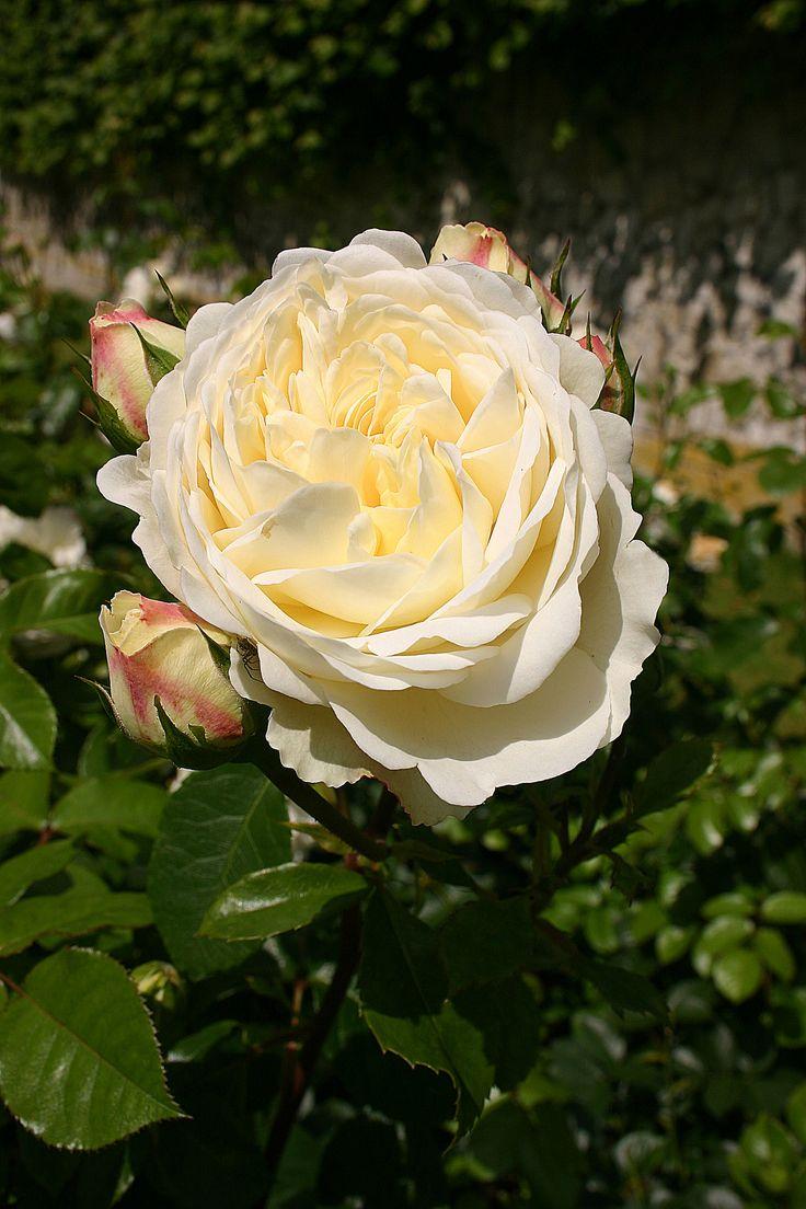 326 best images about roses on pinterest - Rose cultivars garden ...