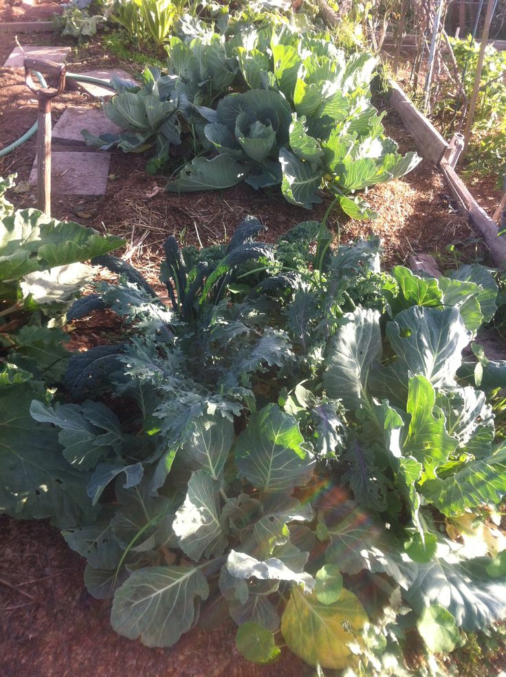 Plant companions...cabbage,kale,garlic,lettuce,califlower ... Companion Planting Kale