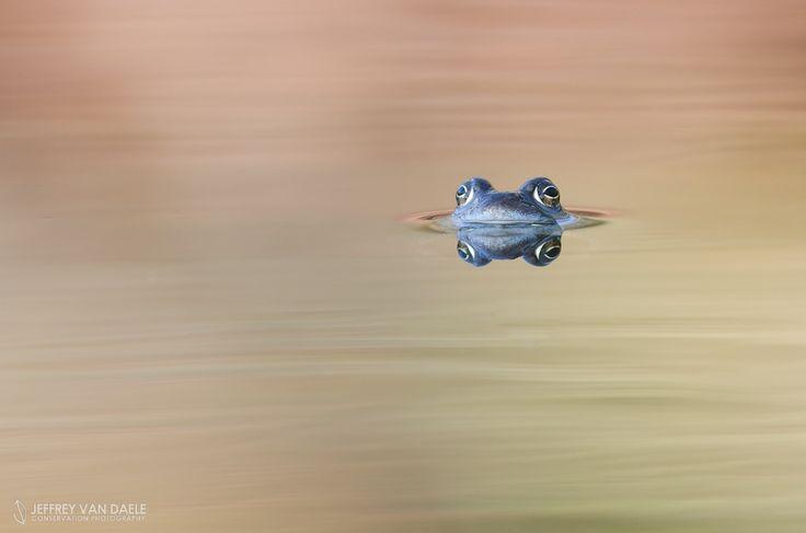 Common frog by Jeffrey Van Daele on 500px