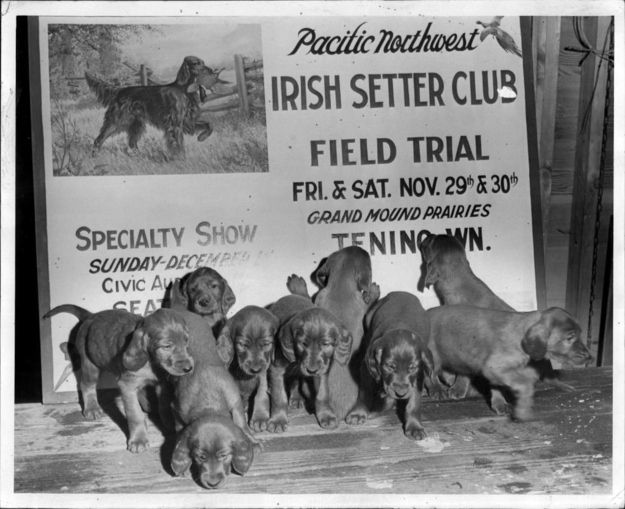 A whole bunch of irish setter puppies, 1946 | 30 Cute Dog Photos From The'30s