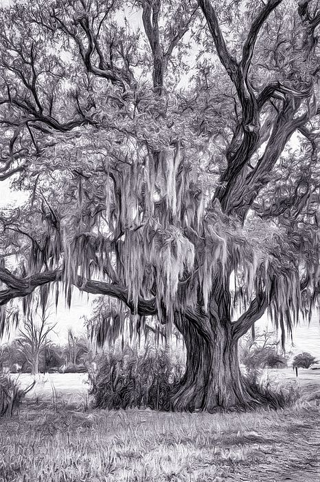 Live Oak And Spanish Moss - Paint Bw 2. This Louisiana live oak sits beside the Mississippi River on the River Road near Evergreen Plantation. Its draping Spanish moss makes it a classic symbol of The South. B&W paint version.