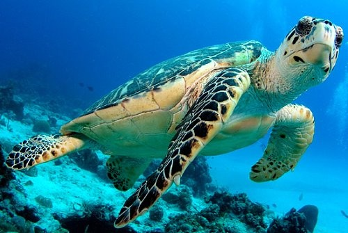I REALLY want to swim with a big sea turtle!  You know, Nemo's dad, Marlin, said that they live to 150 years old!!!
