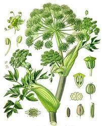Alle delen van de plant kunnen gebruikt worden vanwege hun geur. De jonge stengels kunnen als groenten gebruikt worden. Engelse gewoonte: gesuikerde groene stengels ter versiering op een cake of to…