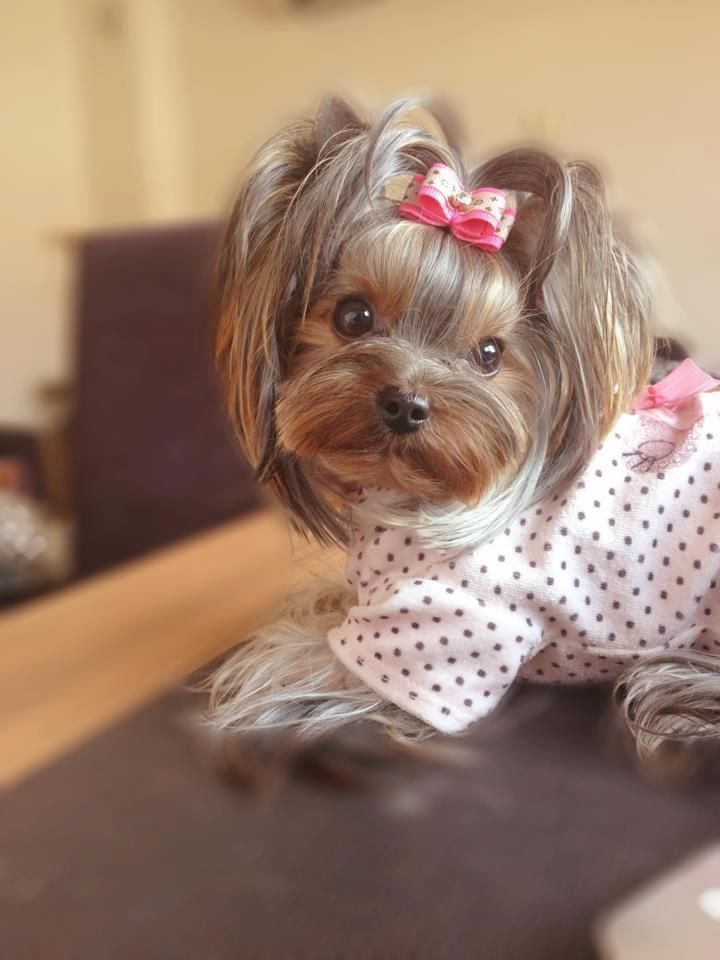 female yorkie haircuts 1000 images about shih tzu on maltese pets 3159 | 7c32519975c1e5e9f15db95cef8cf5a0