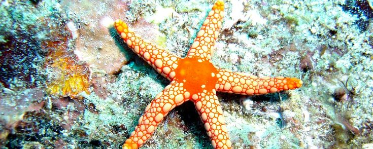 Starfish facts and information