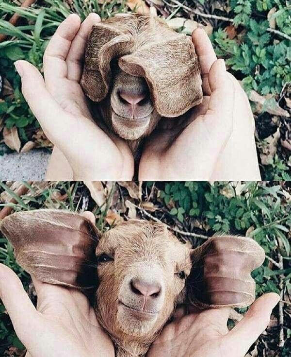 Peekaboo lil lamb •