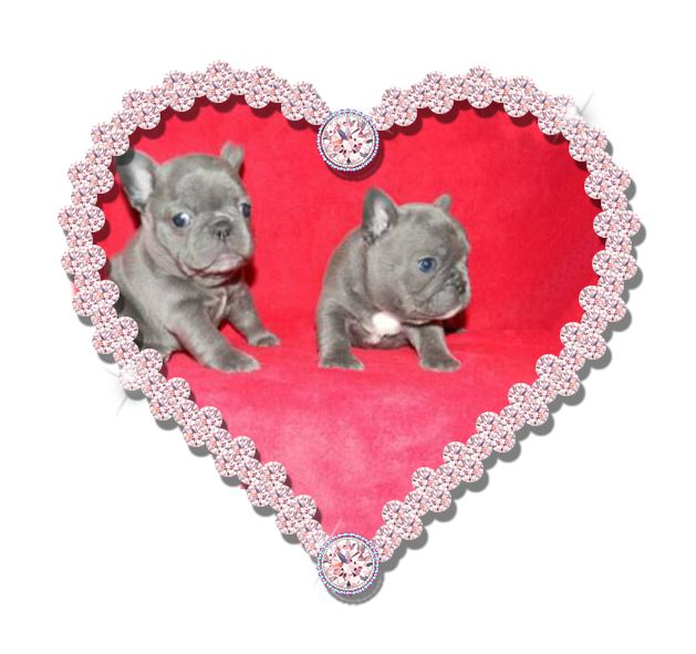Blue French Bulldog for sale  Pricing on POSH micro teacup puppies ~ PLUS delivery (location costs Vary) ***not negotiable*** 1. Shihtzu puppies $4500-$5500 2. Maltese puppies $6500-$8500 3. Pom puppies $4800-$12,000 4. Yorkie puppies $6500-$8500 5. French Bulldog Puppies ~ $9500-$15,000 6. Pekingese puppies ~ $4500-$6000 7. Poodle Puppies ~ $5800-$8800 8. VIP puppies ~ $6500 and up ( one of a kind and rare)  9. Chihuahua puppies ~ $5500 - $7500