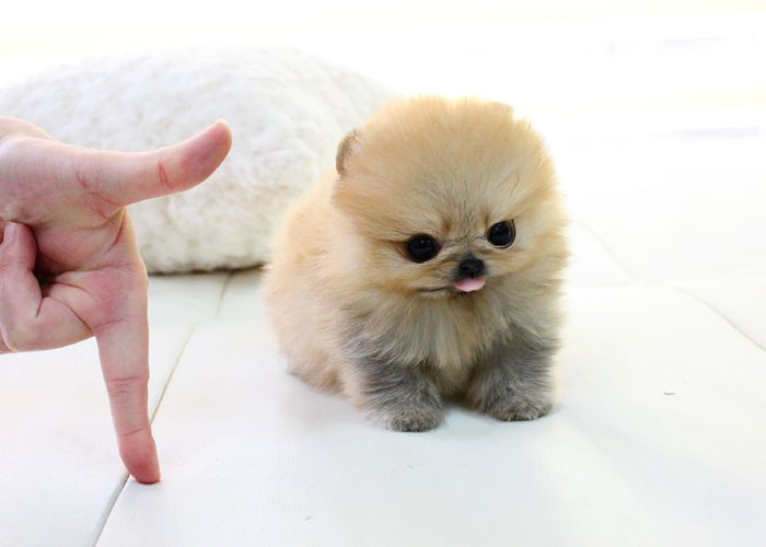 teacup white pomeranian puppy for sale adorable micro teacup pomeranian puppy for sale 4536