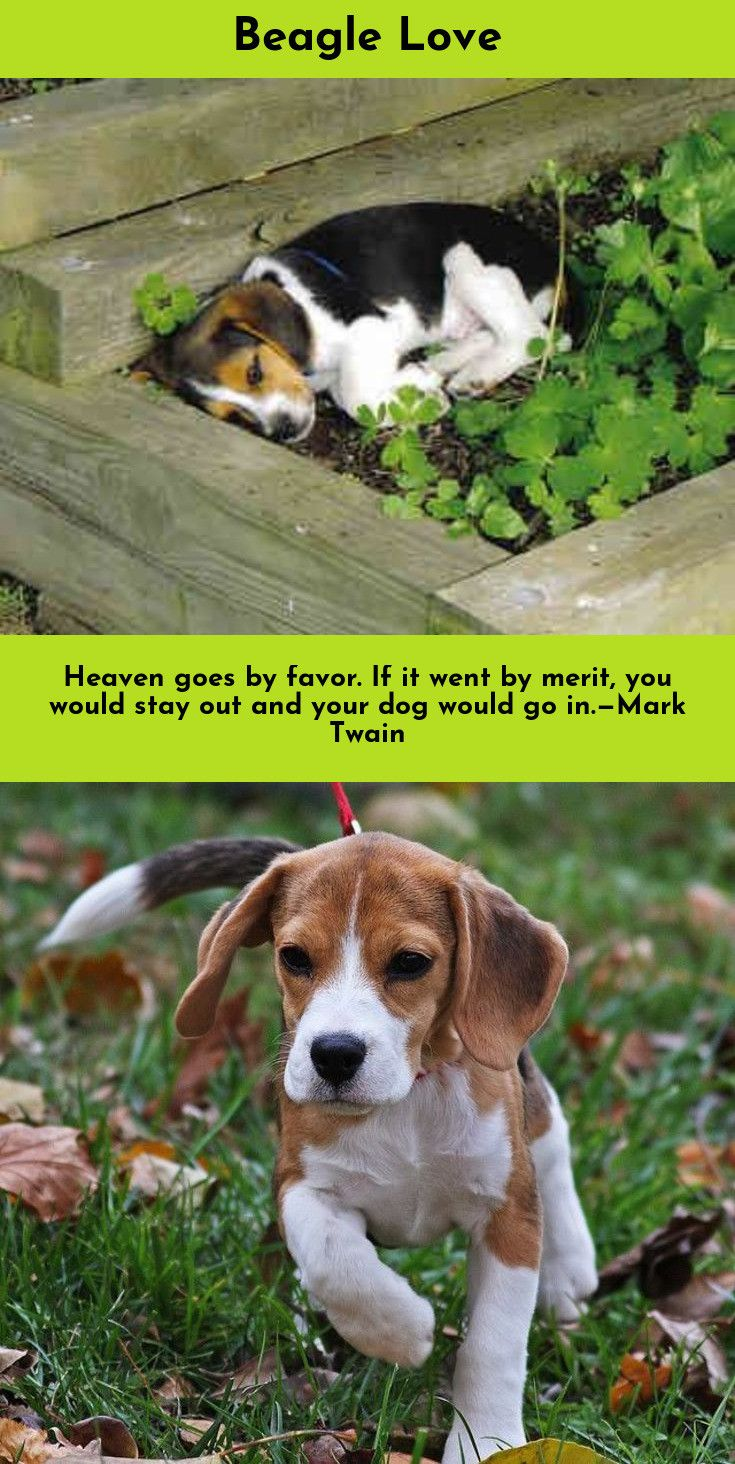 Just Click The Link To Get More Information Beagles Beagles Click