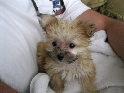chihuahua mixed with maltese | Yorkie Maltese Mix Puppies ...