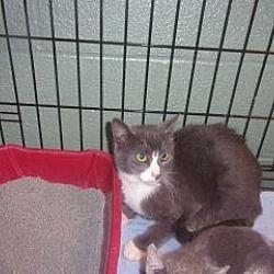 Princeton, West Virginia - Domestic Shorthair. Meet Neville, a for adoption. https://www.adoptapet.com/pet/20243909-princeton-west-virginia-cat