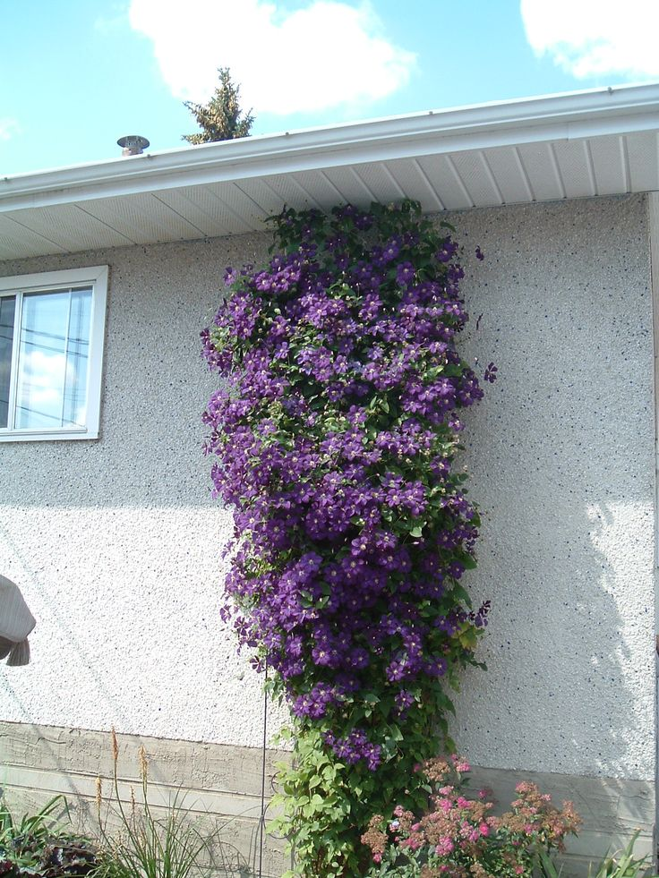clematis in August