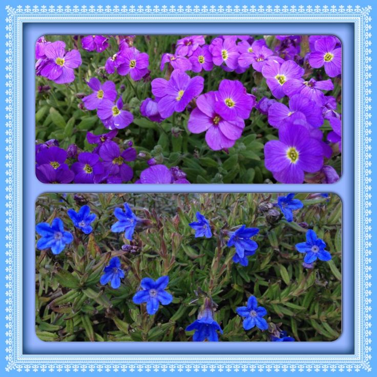 Lithodora 'heavenly blue' and Aubretia 'hartswood purple' fill the back borders in May.