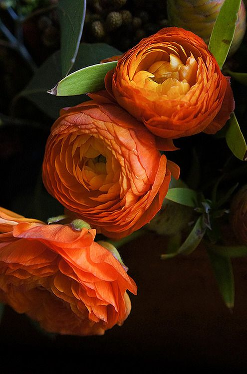 Orange Ranunculus. These are my favorite flower. Maybe in a different color though.