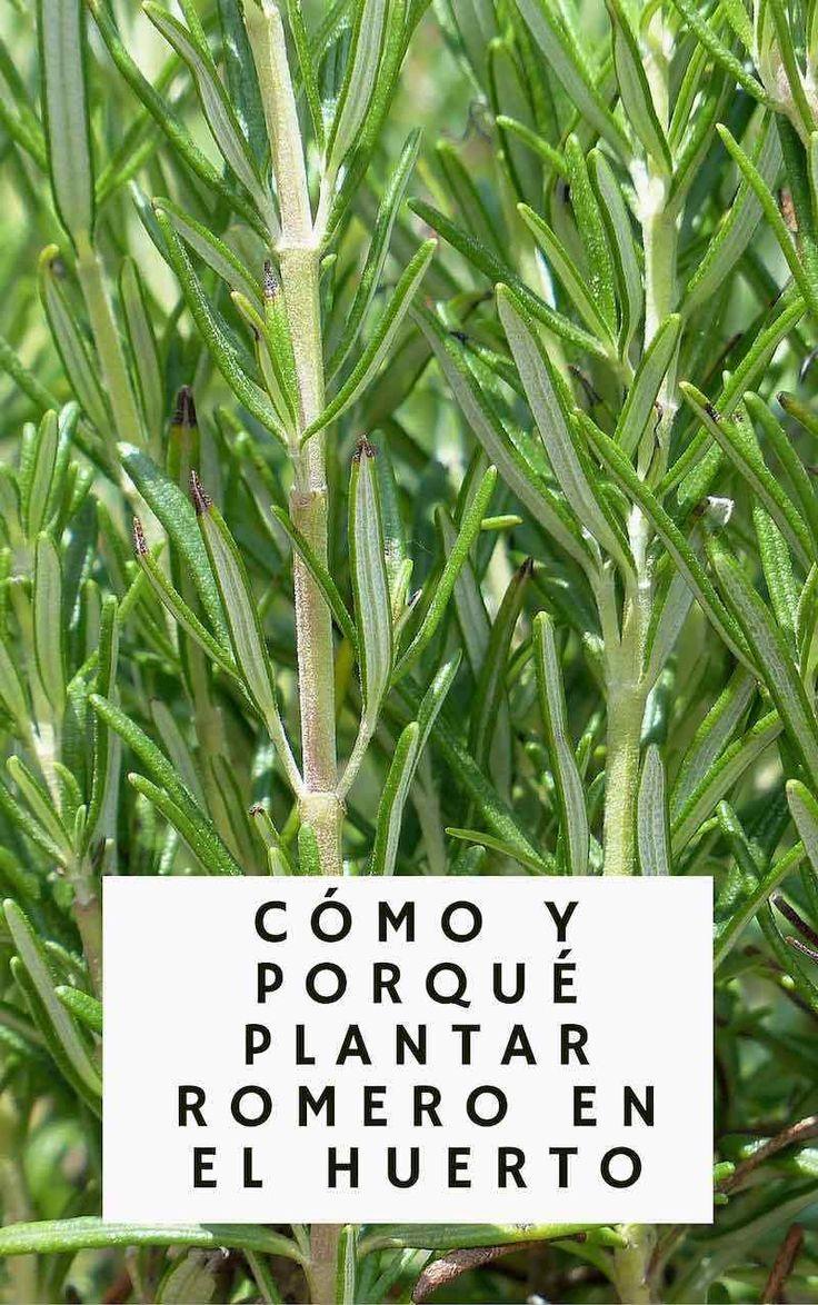 Cómo y porqué plantar romero en el huerto