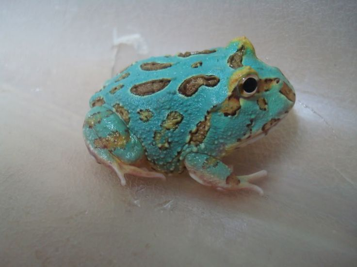 Blue Pacman Frog   Share