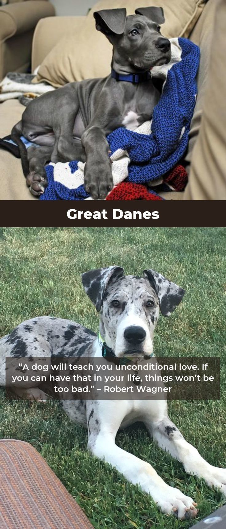 Great Danes Great Dane Dogs Best Dog Training Great Dane Puppy