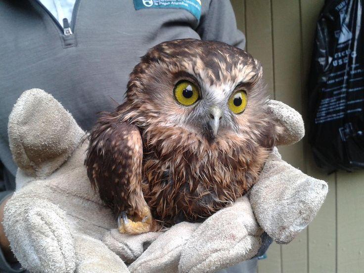Ruru / morepork is New Zealand's only surviving native owl. Photo: Temiko Jager #nzbirds