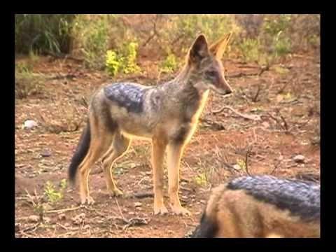 Playful Kalahari jackals full of joy and mischief