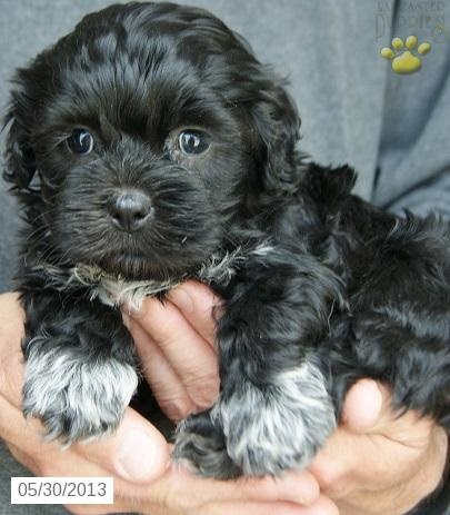 abbie - Maltipoo Puppy  I don't need this - I have this!  My baby is white, we call him Meeko.
