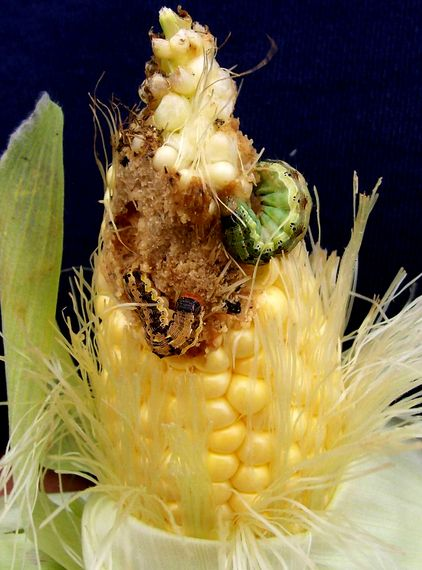 New Research Shows Failings of GMO Insect Resistance, Corn Crop in Jeopardy