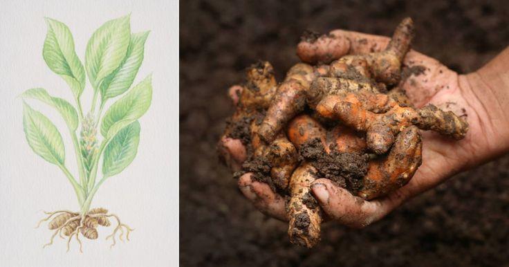 Ako si doma vypestovať vlastný zdroj kurkumy? Úplne jednoducho! | Chillin.sk