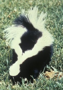 The striped skunk is an interesting component of New York's wildlife assortment. It is a house cat-sized member of the weasel family.