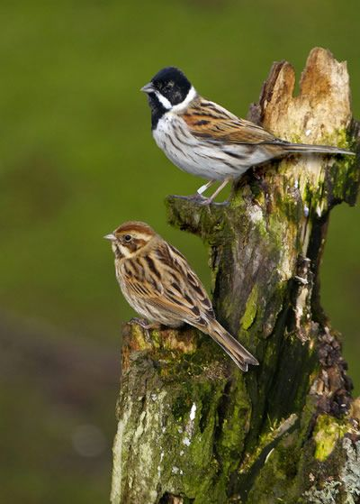 Pair of Reed Buntings - I had these in my Garden last year