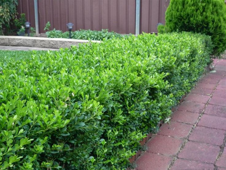 japanese buxus - Google Search
