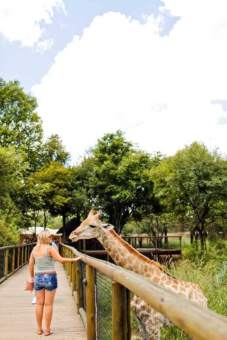 The Lion Park Johannesburg South Africa - great way to see the big 5 and they have different safaris based on your time // http://localadventurer.com