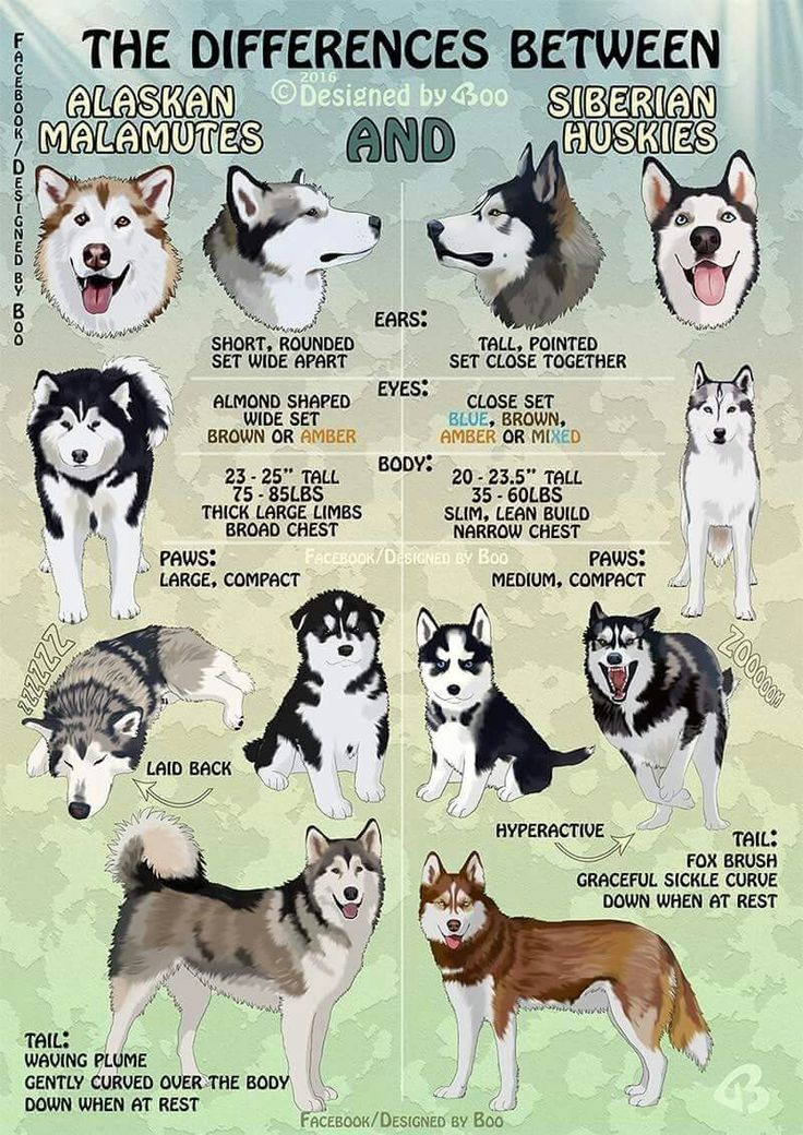 Huskies​ vs Malamutes!