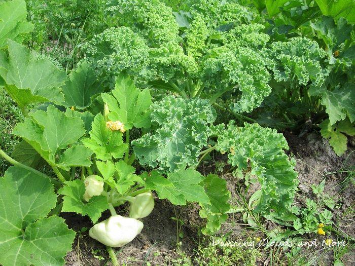 White UFO Zucchini growing next to Kales.