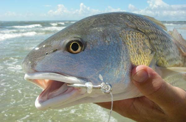 The right redfish rig surf fishing pinterest rigs for Red drum fishing rigs