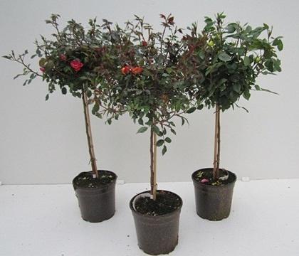 ROSA MINI DIAM.19 ALBERELLO  Florpagano di Antonio Pagano (piante e fiori) www.florpagano.com