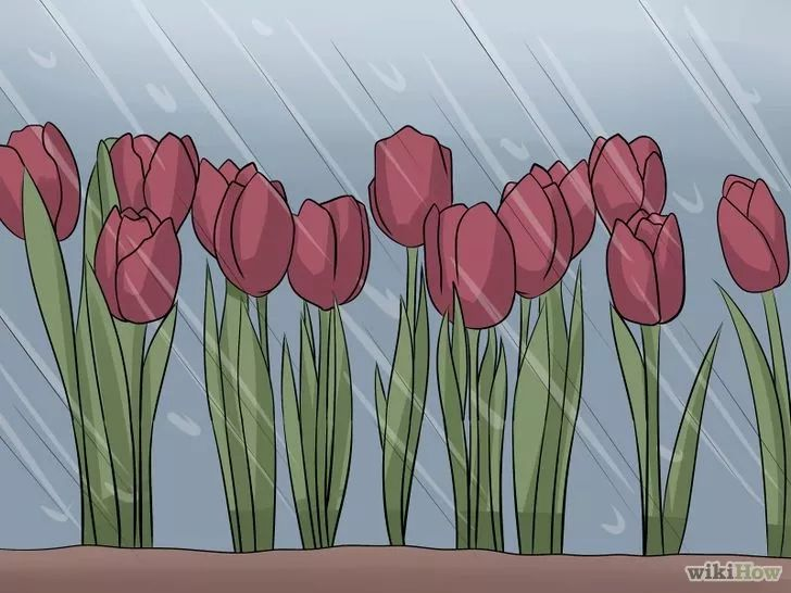 Imagen titulada Care for Tulips Step 9