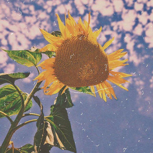 For Vincent Sunflower Tournesol Flower Yellow Jaune Plant