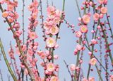 Peggy Clark Flowering Apricot   Prunus Mume - Myro 29C [SPRING]