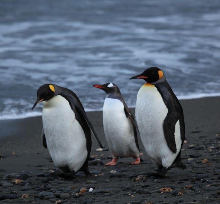 18 Species of Penguins - http://www.geva.co/18-species-of-penguins/