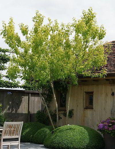 Acer negundo 'Auratum'    Vederesdoorn    5 - 7m