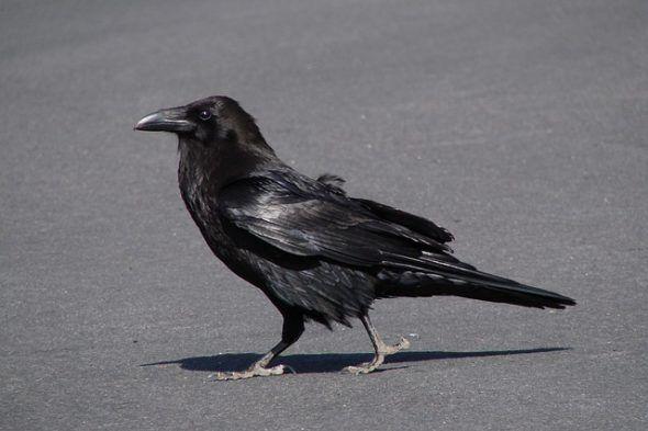 ما تفسير رؤية الغراب في المنام الغراب الغراب في المنام الغربان تفسير ابن سيرين Crow Raven Images American Crow