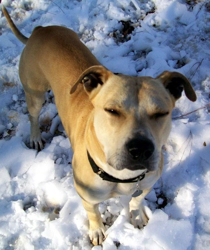 Meet Sparky, a Petfinder adoptable American Staffordshire Terrier Dog | North Haledon, NJ | *** Looking for a Forever Home *** Poor Sparky was kept as an outside dog his entire life. During...