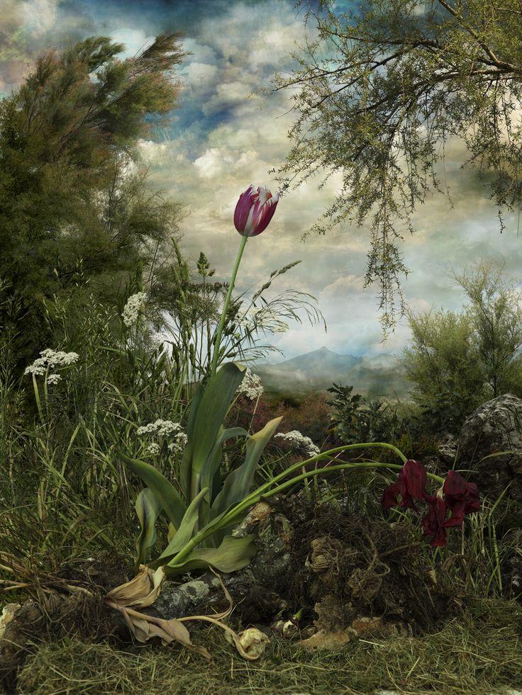 Semper Augustus. Fotografía de 70x52,5 cm 2009