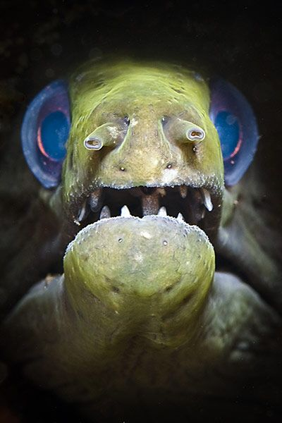 "'Blue Eyes' - A moray eel in Indonesia Photograph: Michael McEvoy   -    ""Why helloooooo, little girllll"""