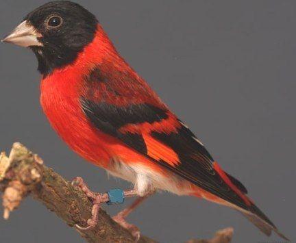 Download Bird Chirping Sound Red Siskin