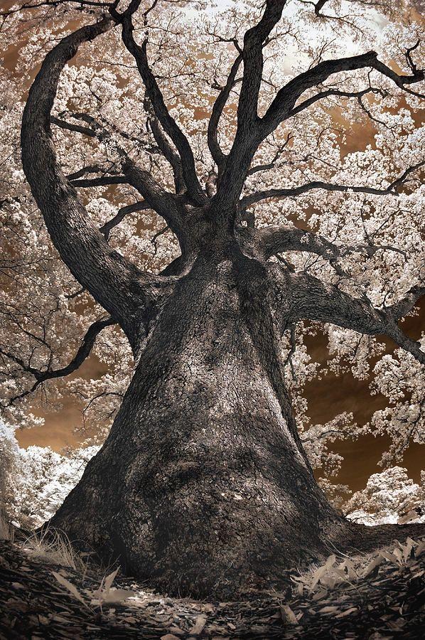 Giant White Oak