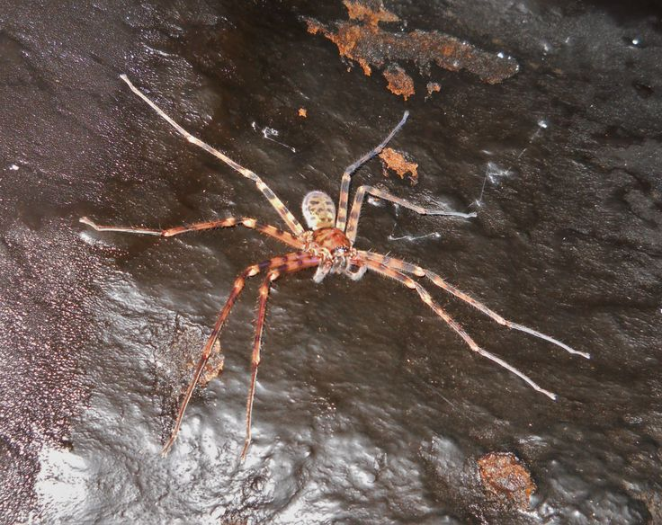 Giant Huntsman spider, in a cave near Kudeng Rim Village, West Jaintia Hills, Meghalaya. For more crazy stuff, check out my travel book at: https://www.amazon.com/Green-Travels-Khasi-Hills-ebook/dp/B0759PFF28/ref=sr_1_1?ie=UTF8&qid=1505925031&sr=8-1&keywords=the+green+unknown