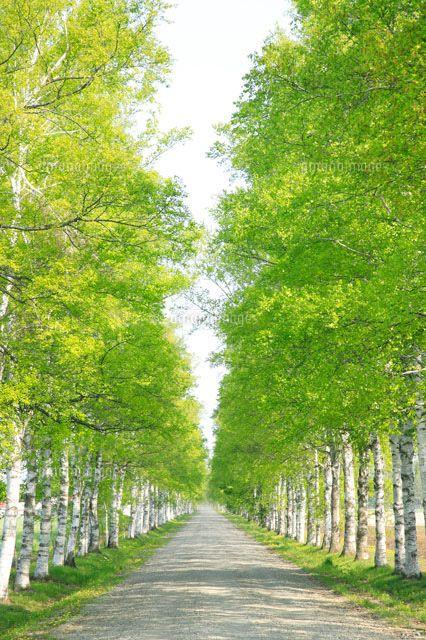 白樺並木[26156000042]| 写真素材・ストックフォト・イラスト素材|アマナイメージズ