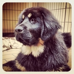 Nala is an adoptable Tibetan Mastiff Dog in Richmond, BC. Meet Nala! Nala is a stunning 3 month old Tibetan Mastif that is looking for her forever home. Breed knowledge is a must for this girl! Please...