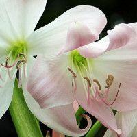 #dogalize Amarilis: planta perenne tóxica para perros #dogs #cats #pets