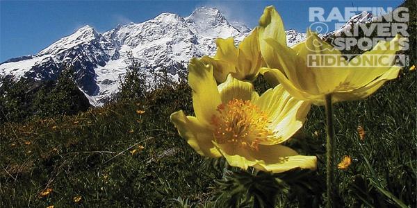 valsesia, monte rosa, fiori gialli